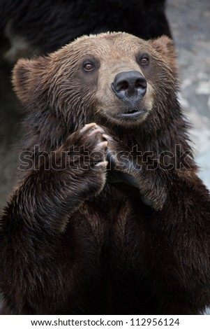 Brown Bear puts the palm together and clapping
