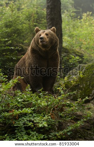 Brown bear sitting on top of a hill in the woods