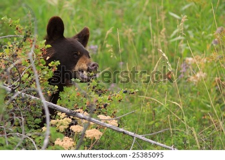 brown bear sitting peacefully eating huckleberries