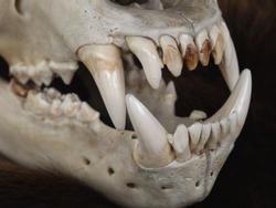 Brown Bear Skull