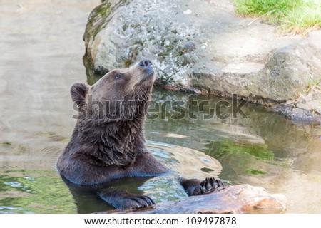 Brown bear smiling