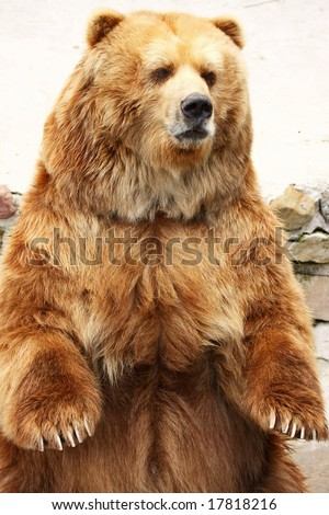 Brown bear standing close-up portrait