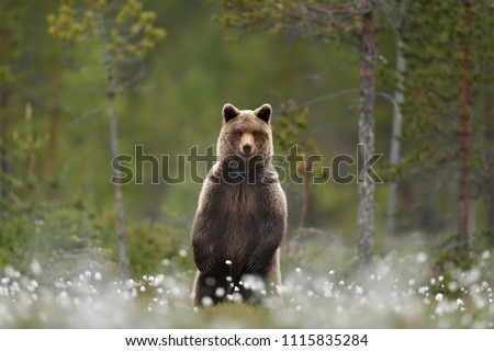 Brown bear standing in a swamp, taiga forest in a background