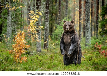 Brown bear standing on his hind legs in the autumn forest.  Scientific name: Ursus arctos. Natural habitat. #1270682518