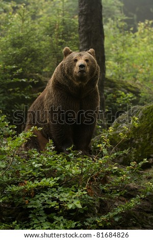 Brown bear standing on top of a hill in the woods and looking forward