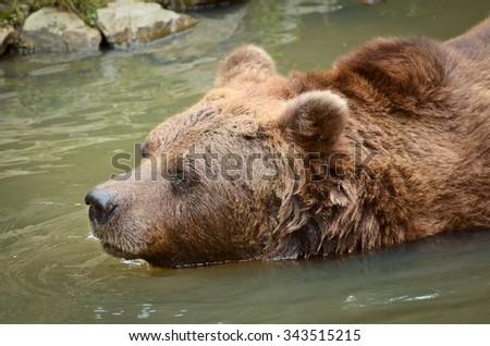 Brown Bear Swimming in a ZOO