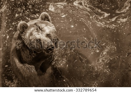 Brown bear swimming in the water in the zoo. Horizontal scene of bear looking at the visitors of zoo, while swimming in the water.