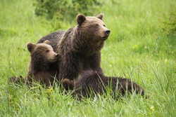 Brown bear,ursus arctos, family resting on meadow during the summer. Mammal mother with cubs sitting in grass with blurred background. Wild animals lying on field.