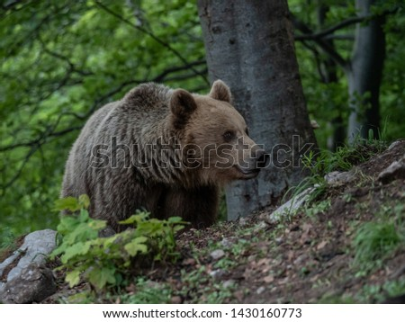 Brown bear (Ursus arctos) in summer forest by sunrise. Brown bear with young brown bear. #1430160773