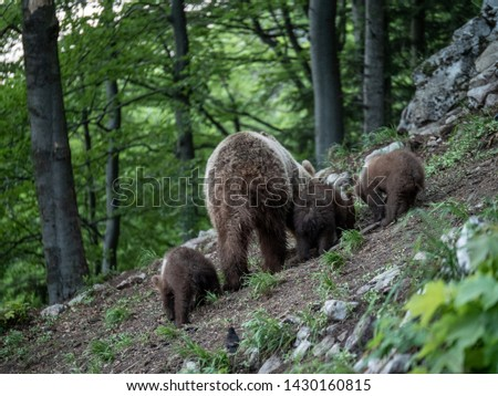 Brown bear (Ursus arctos) in summer forest by sunrise. Brown bear with young brown bear. #1430160815
