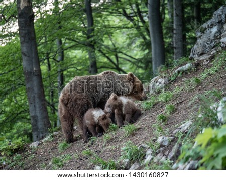 Brown bear (Ursus arctos) in summer forest by sunrise. Brown bear with young brown bear. #1430160827