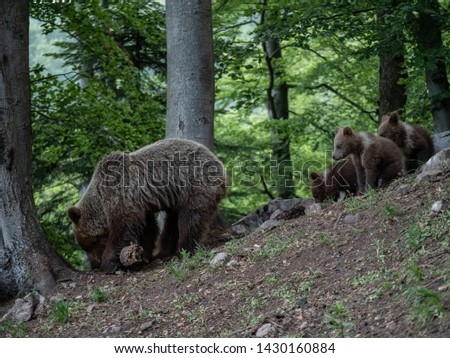 Brown bear (Ursus arctos) in summer forest by sunrise. Brown bear with young brown bear. #1430160884