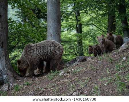 Brown bear (Ursus arctos) in summer forest by sunrise. Brown bear with young brown bear. #1430160908