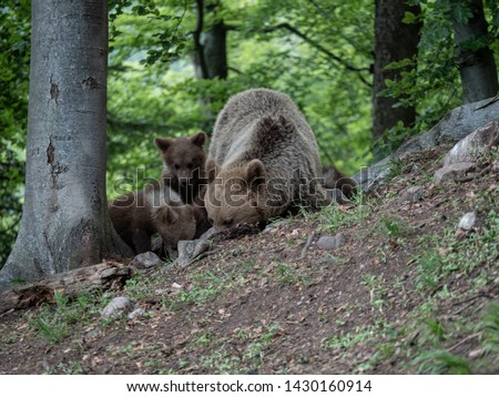 Brown bear (Ursus arctos) in summer forest by sunrise. Brown bear with young brown bear. #1430160914