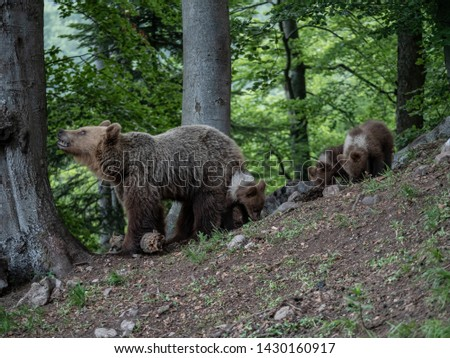 Brown bear (Ursus arctos) in summer forest by sunrise. Brown bear with young brown bear. #1430160917