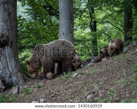 Brown bear (Ursus arctos) in summer forest by sunrise. Brown bear with young brown bear. #1430160929