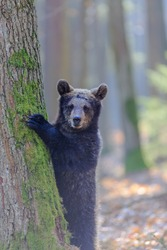 brown bear (Ursus arctos) is hiding behind the tree