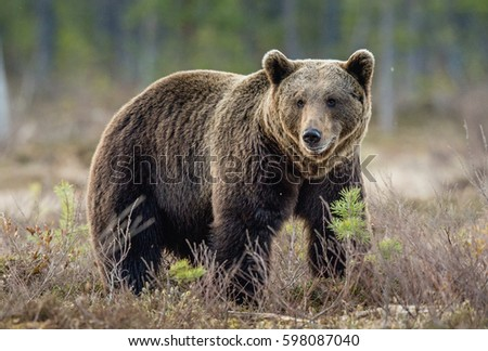 Brown Bear (Ursus arctos) on the swamp in spring forest. #598087040