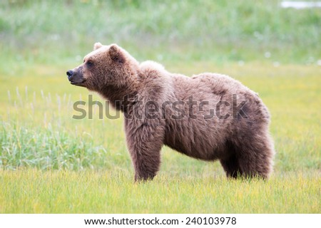 Brown Bear, Ursus Arctos, profile, looking to the left