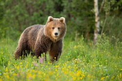 Brown bear, ursus arctos, standing on blooming glade in spring nature. Large mammal looking to the camera in yellow wildflowers. Big predator watching on green grass in national park in Slovakia.