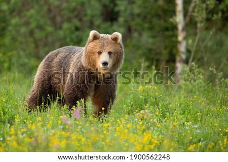 Brown bear, ursus arctos, standing on blooming glade in spring nature. Large mammal looking to the camera in yellow wildflowers. Big predator watching on green grass in national park in Slovakia. Photo stock ©