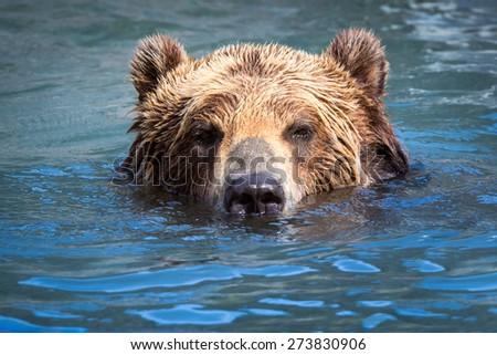 Brown Bear (Ursus arctos) swimming in a river