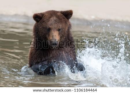 Brown Bear (Ursus arctos) swimming in a water