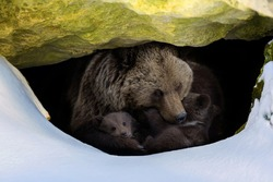 Brown bear (Ursus arctos) with two cubs looks out of its den in the woods under a large rock in winter
