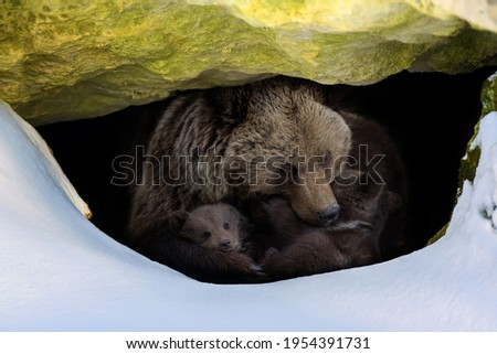 Brown bear (Ursus arctos) with two cubs looks out of its den in the woods under a large rock in winter Stock photo ©