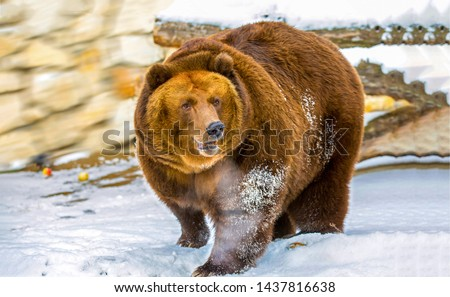 Brown bear walk on snow. Brown bear winter. Brown bear snow. Brown bear portrait #1437816638