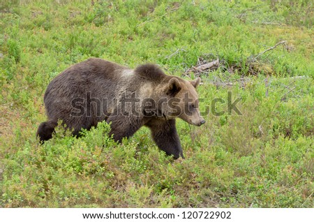 Brown bear walking in bilberry bushes in summer time