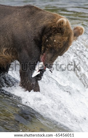 Brown Bear with a fresh catch of salmon in Katmai National Park in Alaska