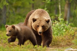 Brown bear with cub in forest