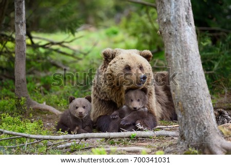 Brown bear with cubs in forest #700341031