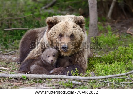 Brown bear with cubs in forest #704082832