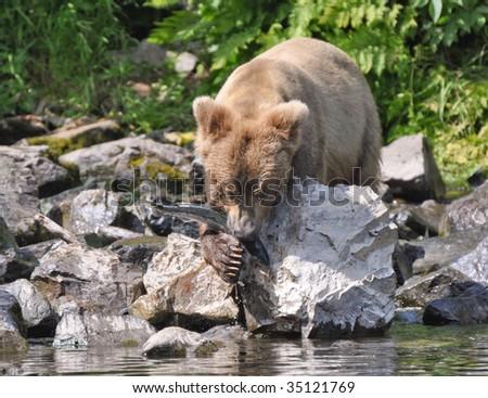 brown bear with sockeye salmon