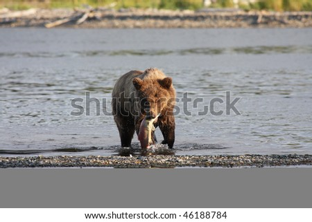 Brown bear with sockeye salmon