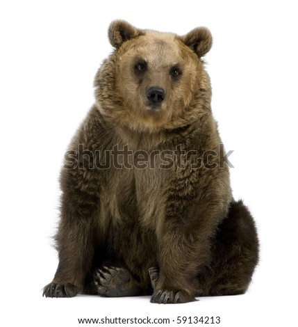 Brown Bear, 8 years old, sitting in front of white background #59134213