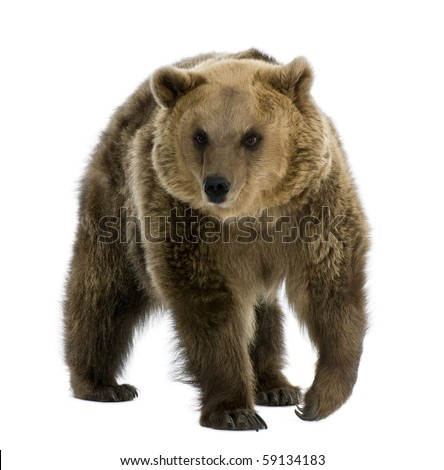 Brown Bear, 8 years old, walking in front of white background #59134183