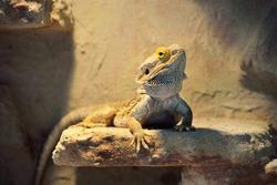 Brown bearded dragon lizard (Pogona) sitting on a tree log, isolated in terrarium, imitation of natural habitat, close-up. Biology, zoology, herpetology, science, zoo laboratory, wildlife. Australia