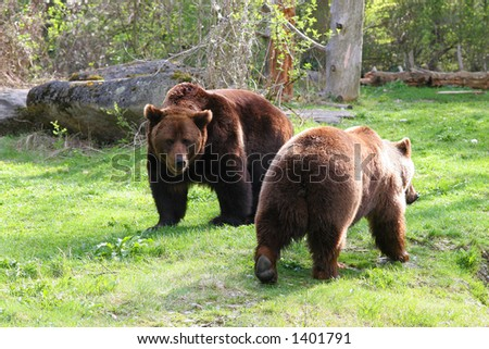 brown bears - stock photo