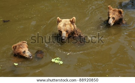 Brown bears playing in water