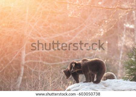 brown bears  ursus arctos  in...