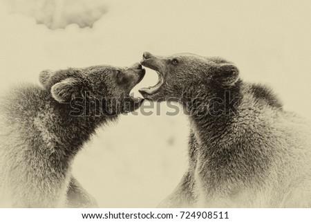 brown bears  ursus arctos  in...