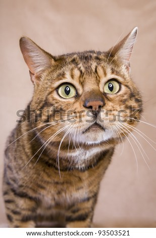 brown bengal cat looking at camera on tan background
