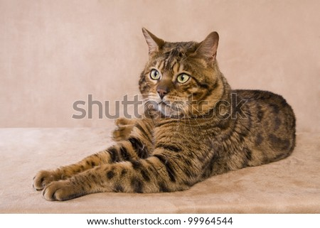 Brown Bengal cat lying down on tan background