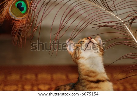 Brown bengal cat portrait with peacock feather