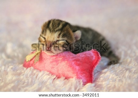 Brown Bengal kitten on pink background with pink cat toy