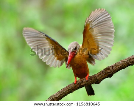 Brown bird with red beaks about to fly from tree branch with fully wings sweeping high, Stork-billed kingfisher (Pelargopsis capensis)