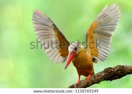 Brown bird with red beaks about to jump off perching with fully wings sweep, Stork-billed kingfisher (Pelargopsis capensis)